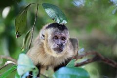 Capuchin monkey on the branch in closeup Stock Photo
