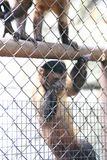 Capuchin monkey in cage Royalty Free Stock Photos
