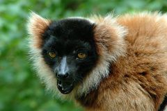 Capuchin Monkey. With mouth open Royalty Free Stock Images