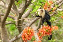 Capuchin monkey Cebus capucinus. Taken in Costa Rica stock image