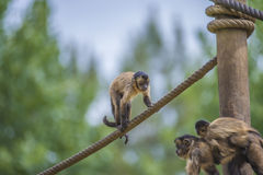 Capuchin monkey, cebus capucinus. The photo is shot at Zoomarine, Guia, Portugal Royalty Free Stock Images