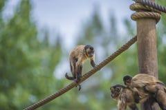 Capuchin monkey, cebus capucinus Royalty Free Stock Images