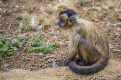 Capuchin monkey, cebus capucinus. The photo is shot at Zoomarine, Guia, Portugal Royalty Free Stock Photography