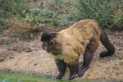Capuchin monkey, cebus capucinus Stock Photos