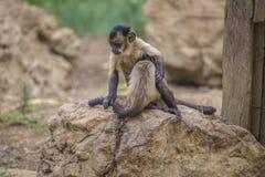Capuchin monkey, cebus capucinus. The photo is shot at Zoomarine, Guia, Portugal Stock Image