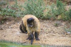 Capuchin monkey, cebus capucinus. The photo is shot at Zoomarine, Guia, Portugal Stock Photography