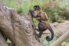 Capuchin monkey, cebus capucinus. The photo is shot at Zoomarine, Guia, Portugal Stock Photo