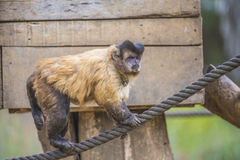 Capuchin monkey, cebus capucinus. The photo is shot at Zoomarine, Guia, Portugal Royalty Free Stock Photos