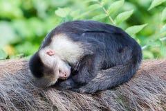 Capuchin monkey (Cebus capucinus). Sleeping in the open air Royalty Free Stock Photos