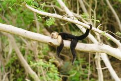 Capuchin monkey Cebus capucinus resting. Capuchin monkey Cebus capucinus, taken in Costa Rica royalty free stock photo