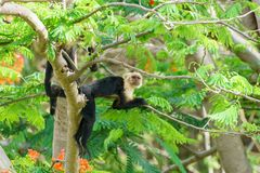 Capuchin monkey Cebus capucinus. Taken in Costa Rica royalty free stock photos