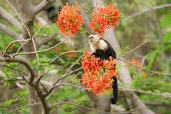 Capuchin monkey Cebus capucinus. Taken in Costa Rica royalty free stock photography