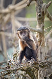 Capuchin monkey - Cebus. Capuchin monkey is eating food on the tree stock photo