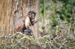 Capuchin monkey - Cebus Stock Images