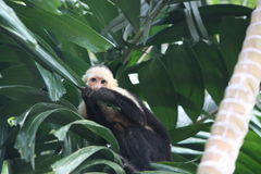 Capuchin monkey chewing on leaf in tree. A capuchin monkey looks off in the distance as he chews on a leaf in a tree stock image