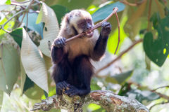 Capuchin Monkey Chewing on a Stick Stock Images