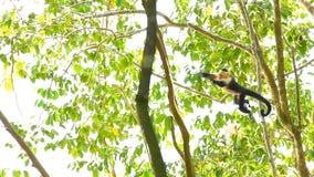 Capuchin Monkey 3 stock video