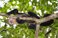 Capuchin Monkey of Costa Rica. Looking me Stock Images
