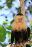 Capuchin monkey in Costa Rica Royalty Free Stock Images