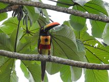 Aracari in Costa rica looking for food.  Royalty Free Stock Images