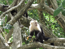 Capuchin monkey eating a banana Stock Images