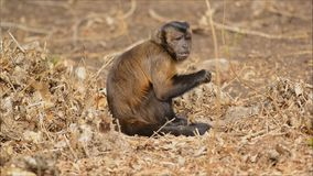 Capuchin monkey eating fruit on forest floor stock video