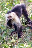 Capuchin Monkey Eating Royalty Free Stock Photos