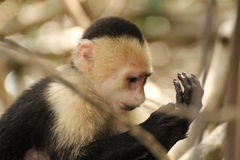 Capuchin monkey examining hand. A capuchin monkey in Costa Rica, examining its hand Stock Photo