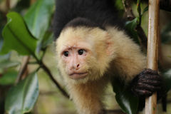Capuchin monkey face. The face of a capuchin monkey as it depends from a tree Royalty Free Stock Photography