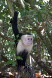 Capuchin Monkey II Royalty Free Stock Image