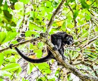 Capuchin monkey primate , in Arenal Volcano area costa rica central america. Monkey in Arenal Volcano area in costa rica central america royalty free stock photography