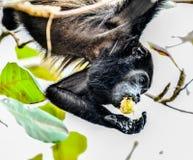 Capuchin monkey primate , in Arenal Volcano area costa rica central america. Monkey in Arenal Volcano area in costa rica central america stock photo
