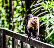 Capuchin monkey primate and baby son, in Arenal Volcano area costa rica central america. Monkey in Arenal Volcano area in costa rica central america stock photos