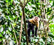 Capuchin monkey primate and baby son, in Arenal Volcano area costa rica central america. Monkey in Arenal Volcano area in costa rica central america royalty free stock photo