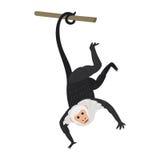 Capuchin monkey rare animal vector. Stock Photos