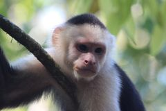 Capuchin monkey. Resting after a day of play in the jungle in Baru Costa rica stock photography