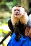 Capuchin monkey sitting on male shoulder in Honduras. On sunny summer day on natural blurred background. Wildlife, wild animals and nature concept Royalty Free Stock Photo