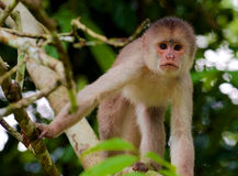 Capuchin monkey. Starring while balancing on branches stock photo