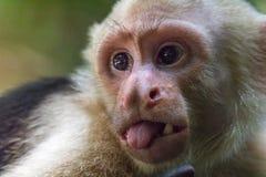 Capuchin Monkey Sticking Out Tongue Royalty Free Stock Photo
