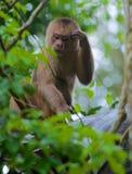 Capuchin Monkey Royalty Free Stock Photos