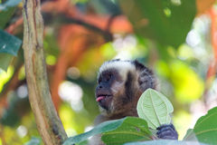 Capuchin Monkey with Tongue Out Stock Photo