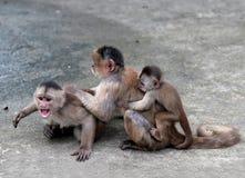 Capuchin monkey in the town of Misahualli,  Amazon, Ecuador. Happy family (in Capuchin monkey's conception) in Misahualli, Amazon, Ecuador Royalty Free Stock Images