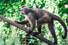 Capuchin. Monkey on the tree stock photos