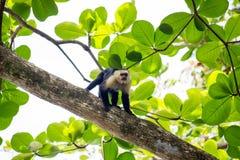 Capuchin monkey on a tree Royalty Free Stock Photography