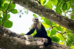 Capuchin monkey on a tree Royalty Free Stock Photos
