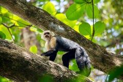 Capuchin monkey on a tree Royalty Free Stock Image