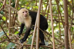 Capuchin monkey in tree. A capuchin monkey in Costa Rica, climbing in a tree Stock Photo