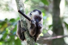 Capuchin monkey in the tree Royalty Free Stock Photo