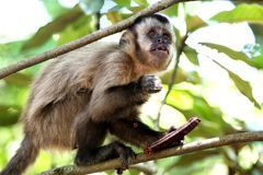 Capuchin monkey in the tree Royalty Free Stock Photos