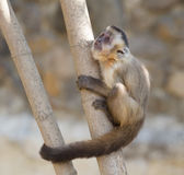Capuchin monkey on the tree Stock Photography